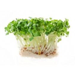 Semena na klíčky ŘEDKVIČKA 20g